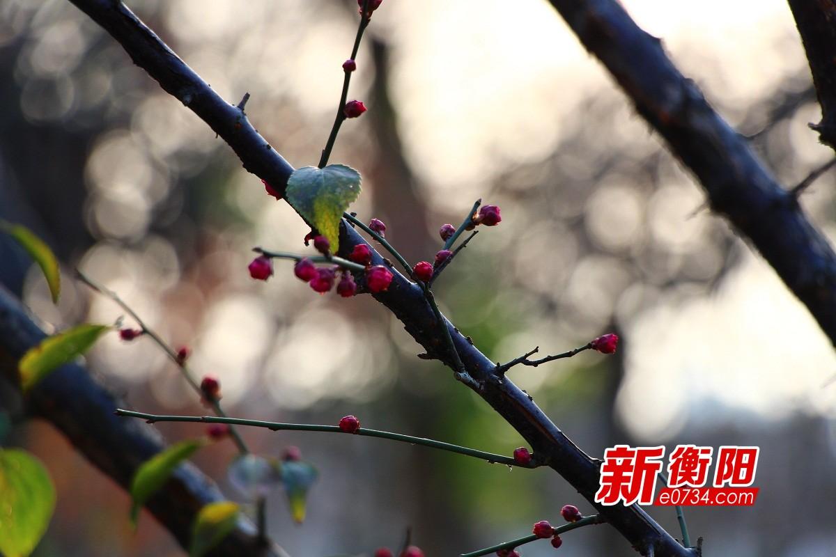 衡阳市岳屏公园红梅含苞待放 下周为最佳赏梅期