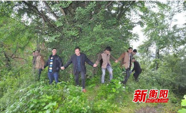 """衡阳耒阳市两株千年古树获评""""湖南最美古树"""""""