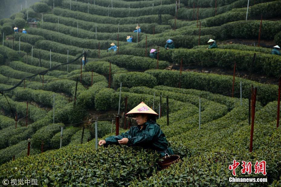 明前茶贵如金 杭州西湖龙井雨中开摘