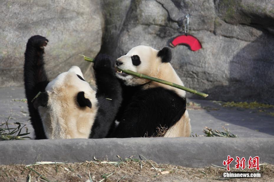 加拿大多伦多民众惜别中国大熊猫