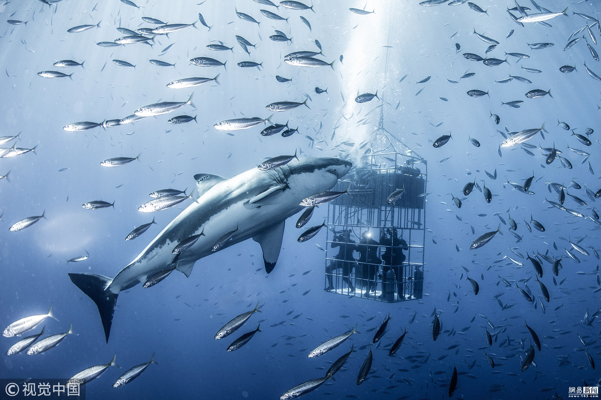墨西哥白鲨水下