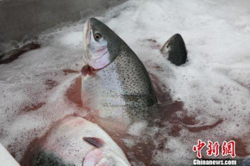 """""""真假三文鱼"""":淡水三文鱼,能不能生吃?"""