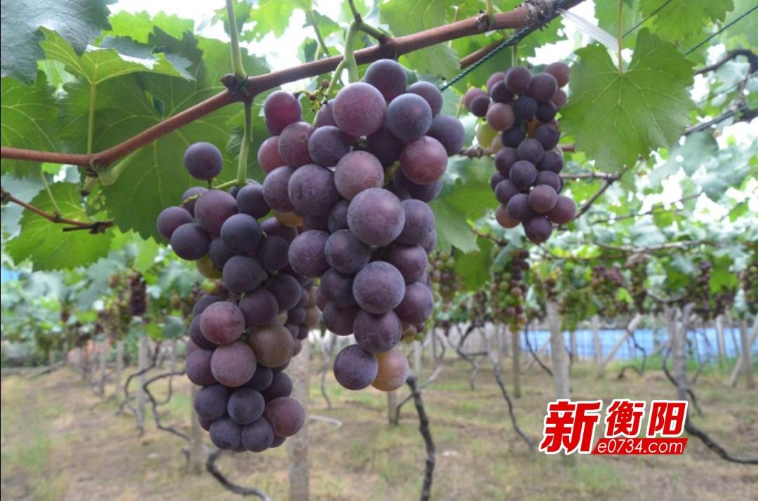 珠晖区酃湖乡光明村的葡萄即将成熟 甜蜜等你来