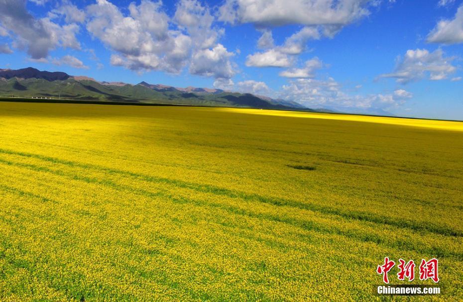 甘肃山丹马场油菜花开 遍地金黄引蜂来