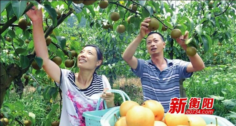 衡南县三塘镇翠冠梨滞销 爱心企业团购助农脱困