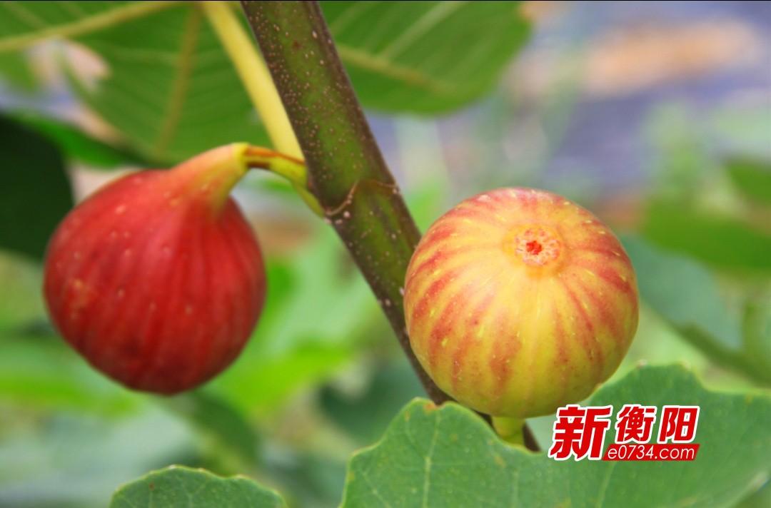 暑假去哪儿:衡南云集福颖农场百亩无花果熟了!