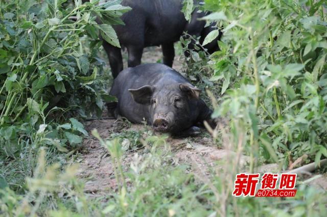 """脱贫攻坚:金溪镇""""音乐黑猪""""助农户踏上脱贫新路"""