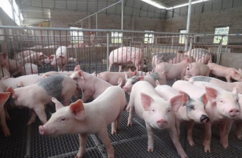 湖南排查生猪3066.7万头 未发现疫情
