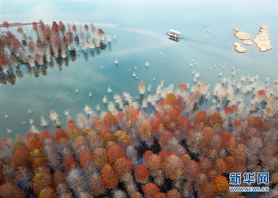安徽宁国:红杉林染秋色