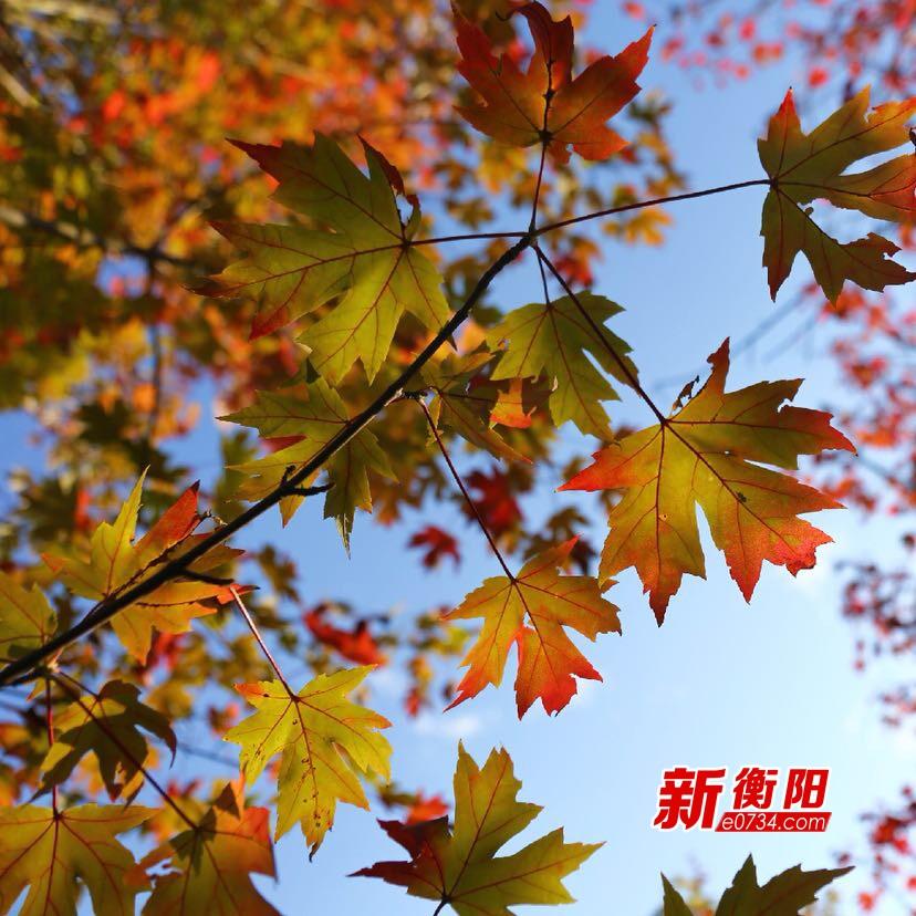 """【赏秋】""""霜叶红于二月花""""衡阳陆家新屋枫叶红"""