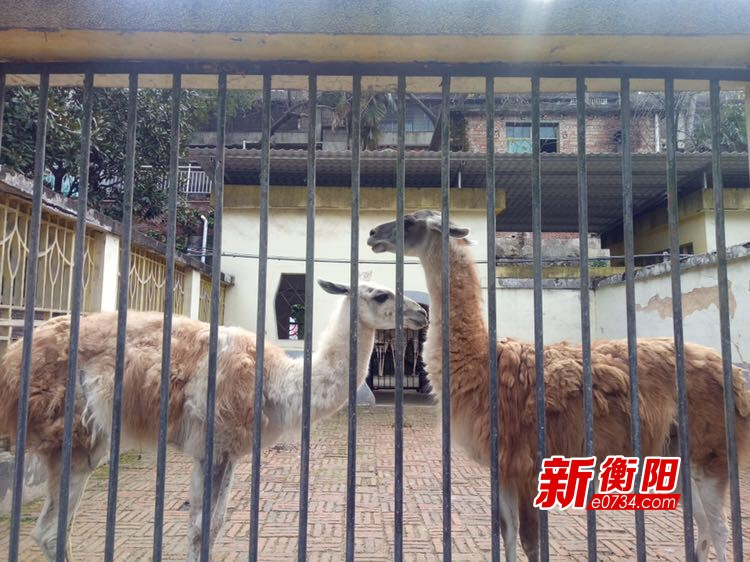 乌龟晒浴霸袋鼠吹空调 衡阳市动物园动物保暖花样多