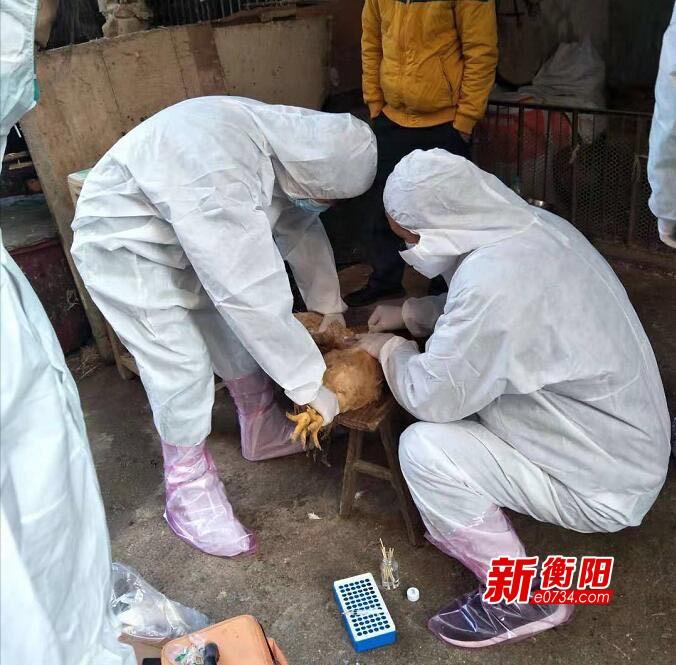 疫情防控·衡陽在行動:常寧市農業農村局全面開展畜禽疫病防疫檢疫