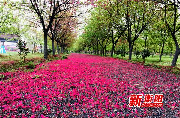 樱花开了!常宁市旅游景点陆续开放 旅游企业逐步恢复生机