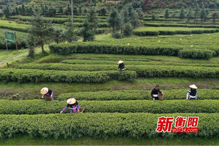 """决胜2020:瑶乡党员干部带头发展茶产业  鼓起村民""""钱袋子"""""""