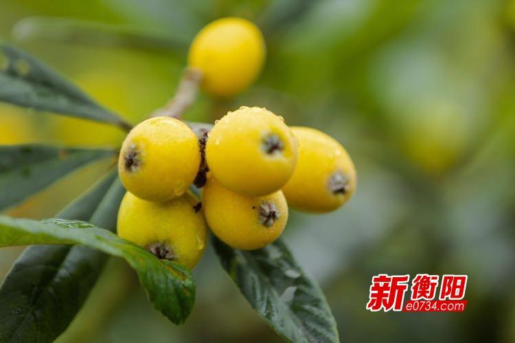 假期去哪儿:衡东县洣江生态园枇杷熟了!好吃好玩又好看!