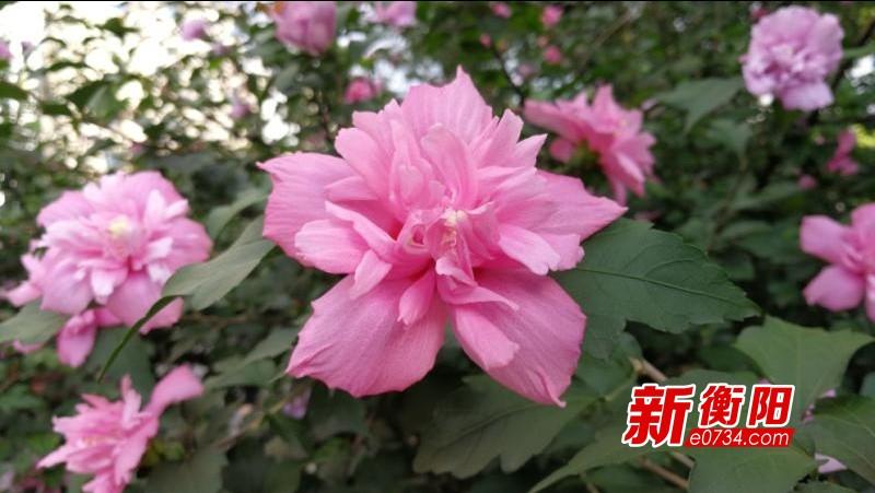 """衡阳街头的木槿花开正盛  喜欢赏花的市民赶紧去""""打卡"""""""