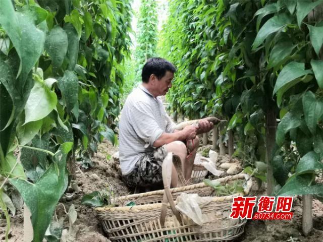 """衡山县幸福村种下早白薯苗 收获满满""""幸福果"""""""