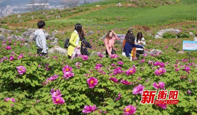 """常宁市桐排村200亩牡丹变身村民增收""""致富花"""""""