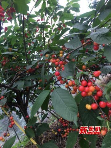 衡南云集高堡村台湾火龙果基地的樱桃、桑椹熟了