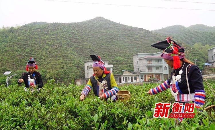 """生态有机茶产业成为常宁塔山瑶乡脱贫""""助推器"""""""
