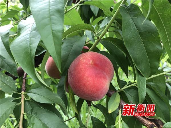 衡南县硫市村150亩鲜桃滞销 女桃农着急盼销路