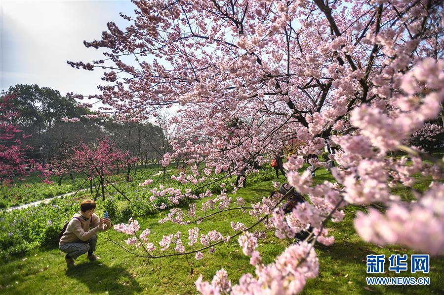 (社會)(3)武漢東湖櫻花節開幕