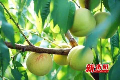 """蒸湘区:经济林良种成为乡村振兴""""金钥匙"""""""