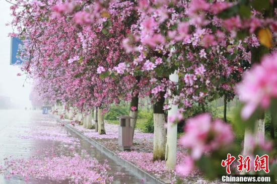 """落花满城 广西柳州街道""""粉红""""如画"""
