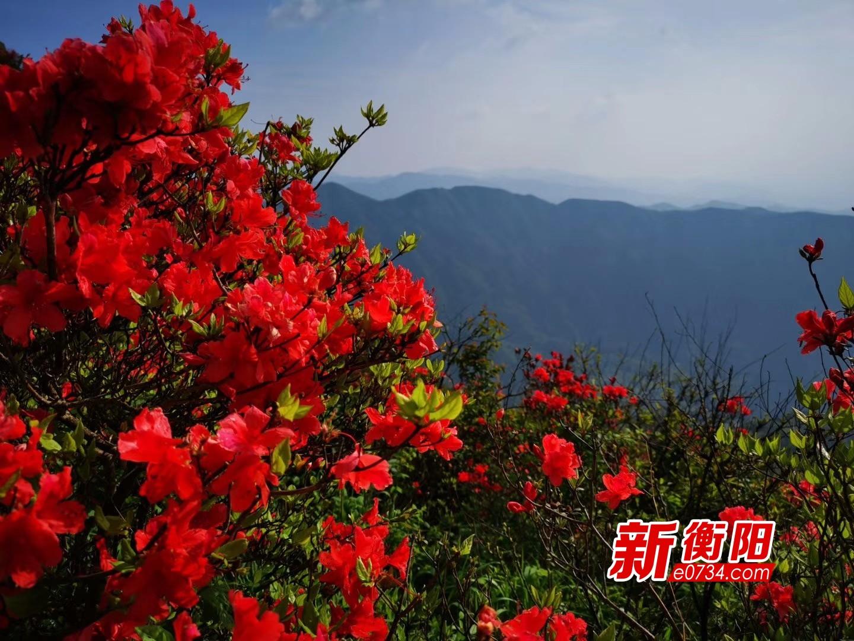 """南岳:百亩百年野生高山杜鹃""""笑迎""""天下客人"""