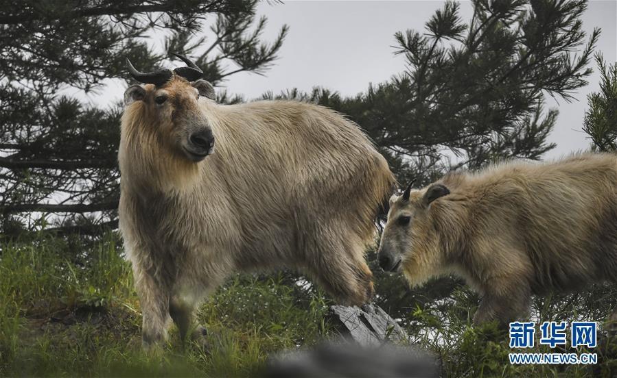 秦嶺:羚牛快樂的家園