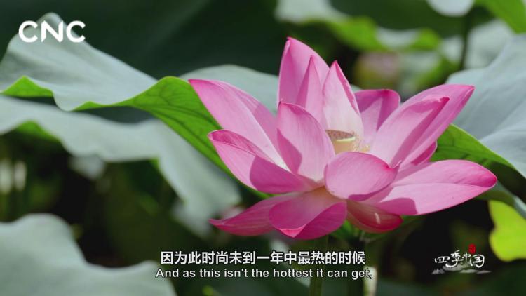 二十四節氣大型紀錄片《四季中國》 | 第十一集 小暑