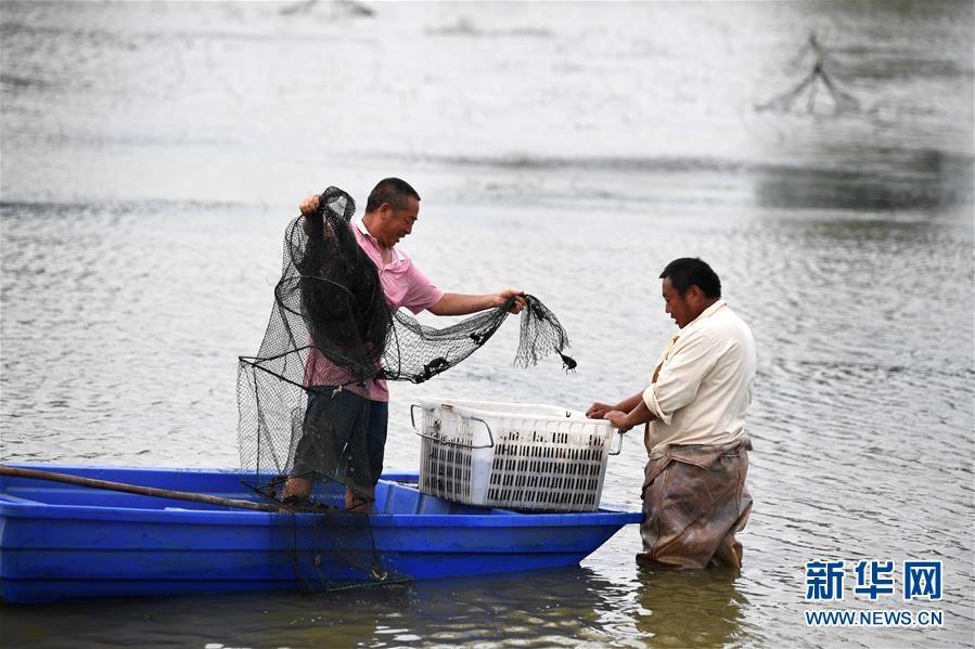 """安徽明光:""""稻虾共作""""助力农民增收"""