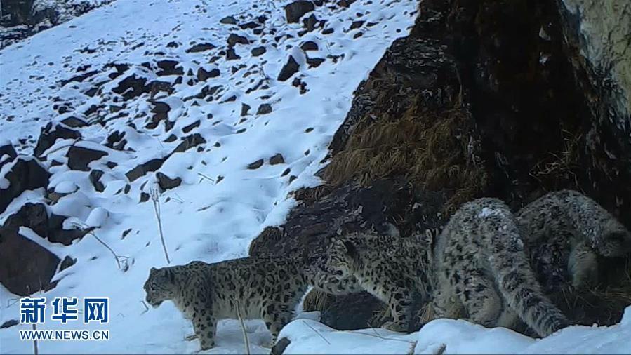 四川臥龍拍攝到四只雪豹同框畫面