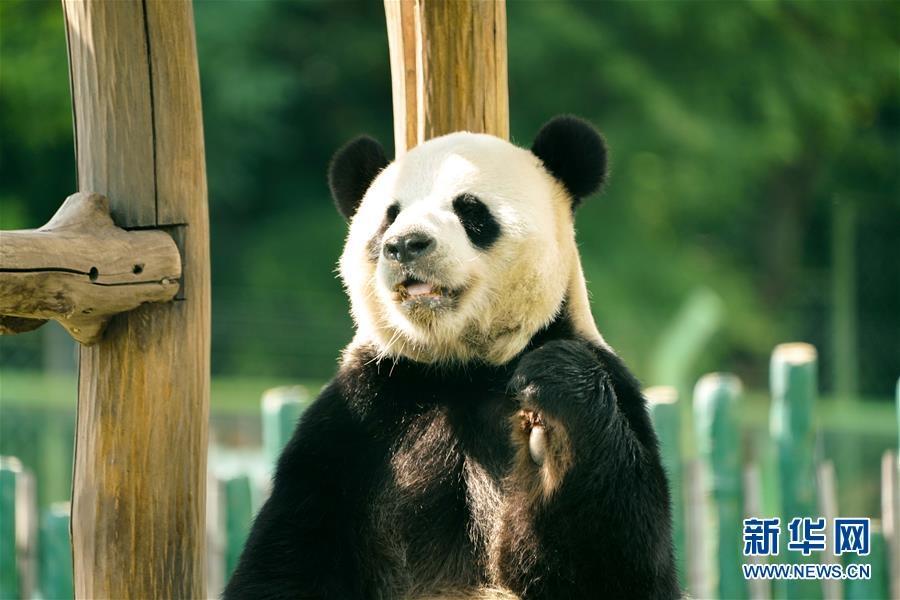 """大熊貓姐弟北上""""樂不思蜀"""""""