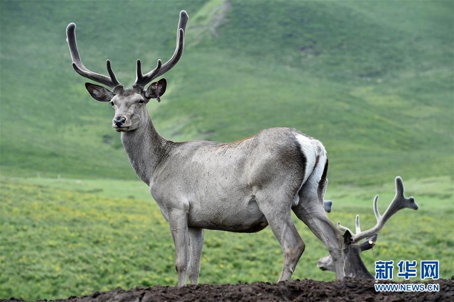 祁連山下呦呦鹿鳴