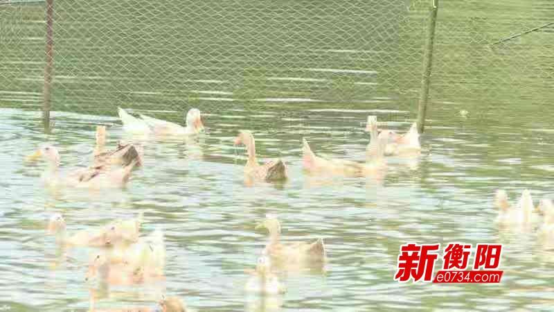 """打赢脱贫攻坚战:衡南县相市""""鸭司令""""的致富经"""
