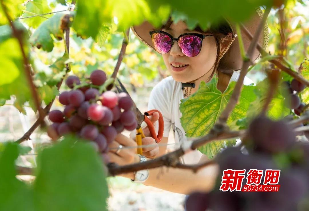 假期去哪儿玩:南岳区双田村葡萄基地葡萄熟啦!