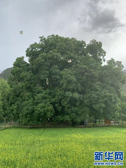 千年核桃林:綠葉成蔭子滿枝