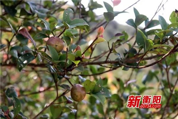 耒阳市推动种植现代化转型 油茶产业铺就小康路