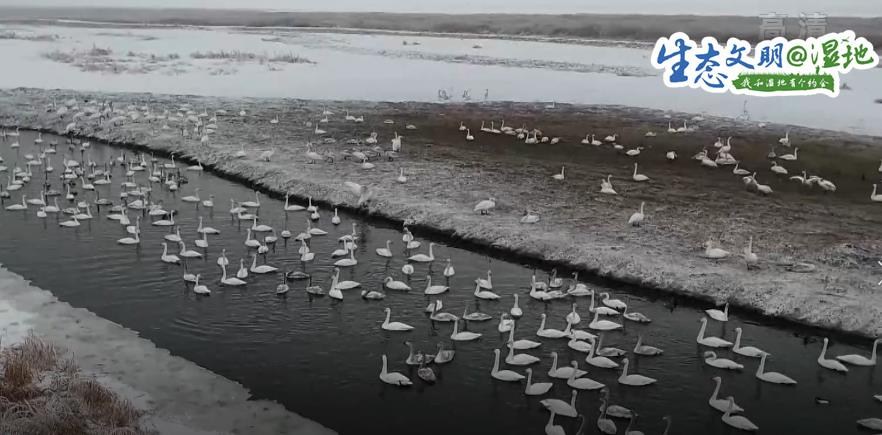 """【生态文明@湿地】新疆湿地水系增加 迎来""""稀客""""灰鹤在此越冬"""