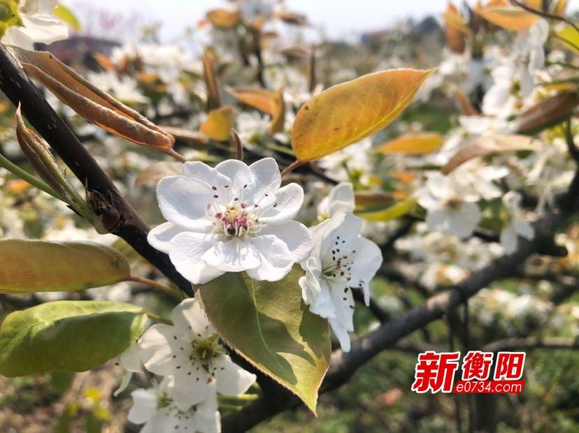 天氣、消費同步回暖 衡陽千畝梨花綻放