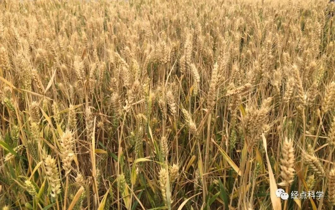 全球大疫,我國今夏糧食能豐收嗎?