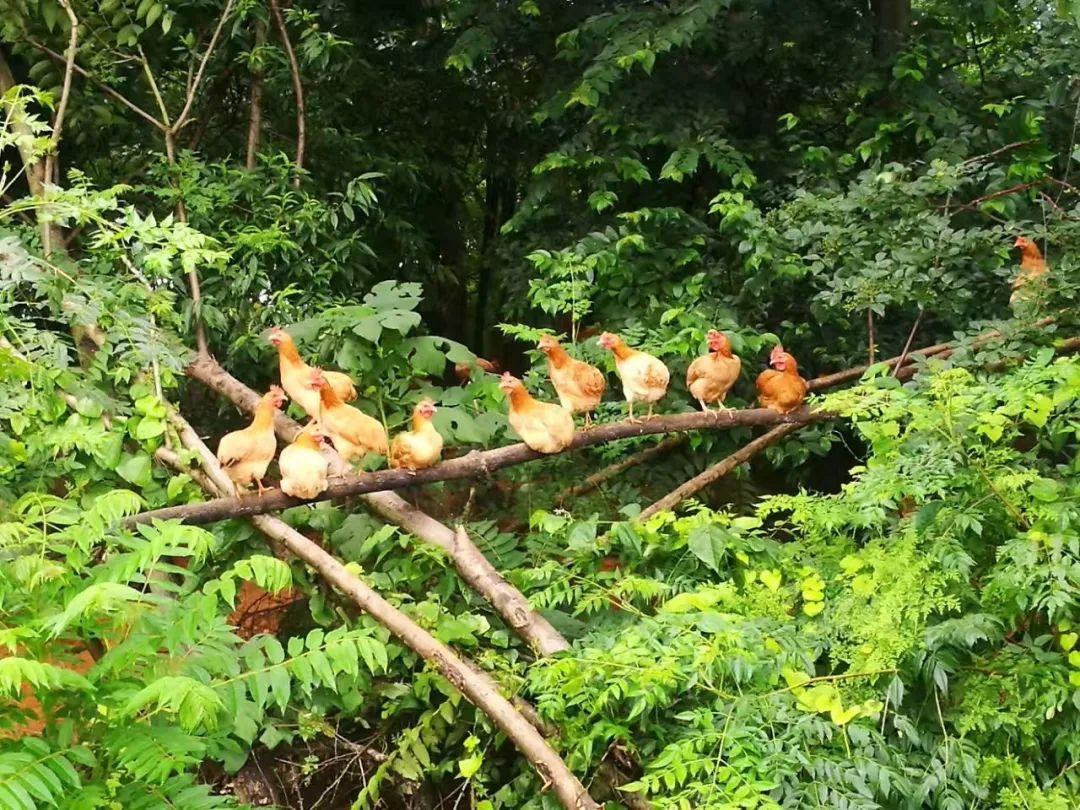【信息化助農行動】幫幫他們!衡陽湘黃雞滯銷,愛心助農需要您的轉發支持!