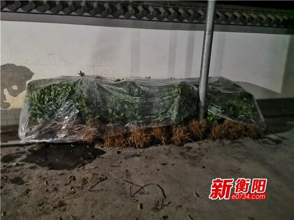 """决胜脱贫攻坚:耒阳黄市镇种下4000株致富""""摇钱树"""""""