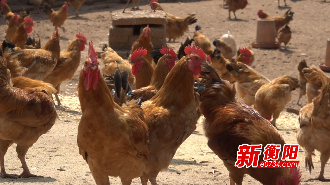 """决胜2020:衡山养鸡大户助贫困户共享""""商鸡"""""""