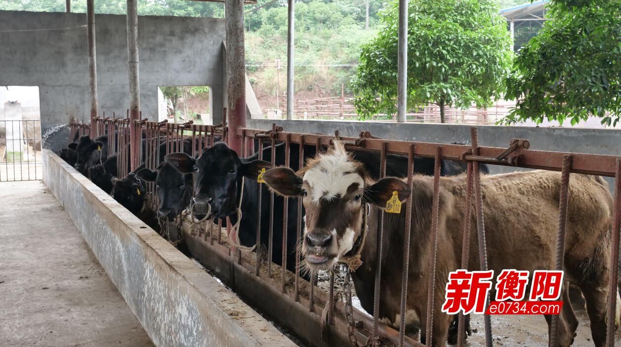"""【信息化助农】珠晖区特色养牛场200多头""""外国牛""""滞销"""
