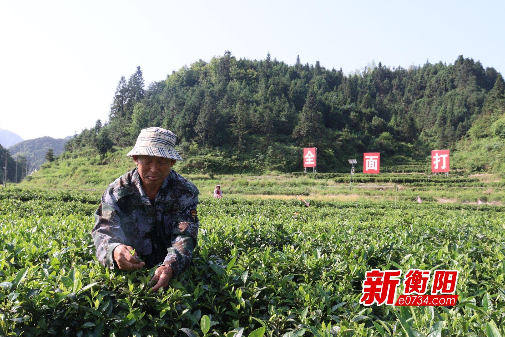 """决胜2020·衡阳扶贫印记⑥狮园村""""茶香""""助农走出致富路"""