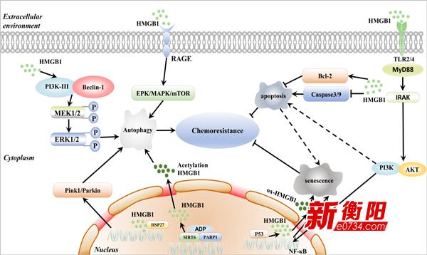 南華附一醫院張濟課題組闡明HMGB1分子在血液系統腫瘤中的作用機制