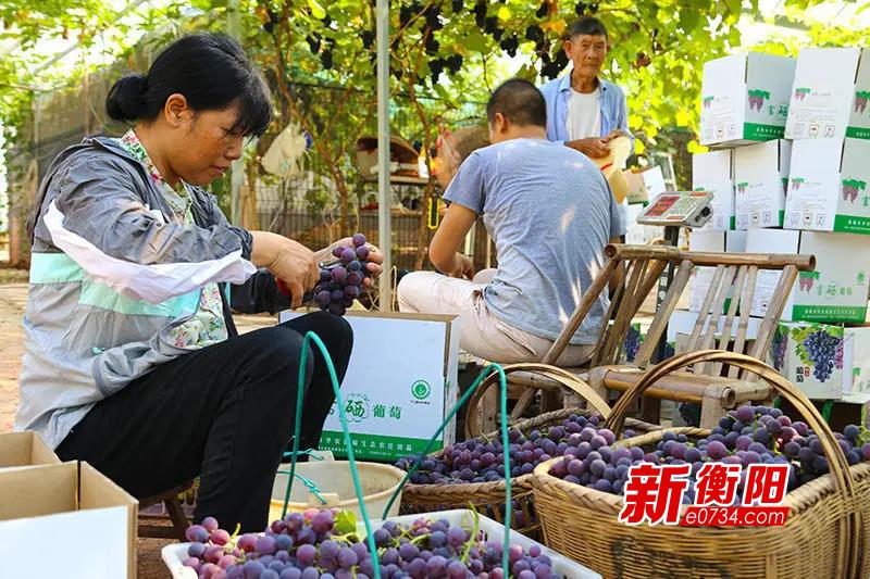 决胜2020:蒸湘区新竹村葡萄飘香美如玉 农户增收日子甜